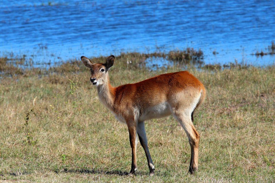 Neben Lechwe-Antilopen tummeln sich hier Tiere, die man im eher wasserarmen Rest Namibias nicht aufspürt, wie etwa Krokodile, Flusspferde oder Büffel.