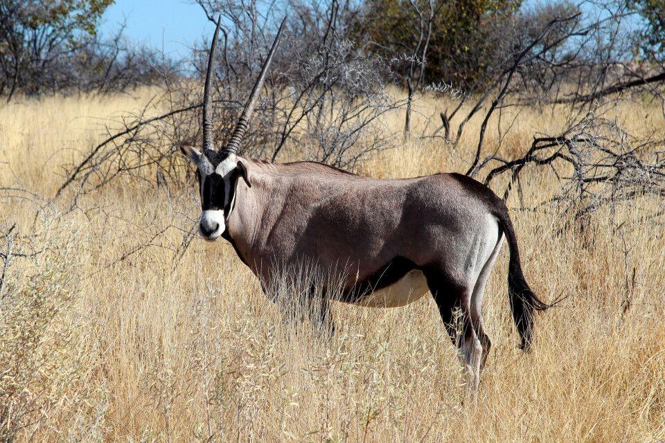 Zeitlose Eleganz und Schönheit – die Oryxantilope als Wappentier Namibias gehört zu den am besten an das Wüstenklima angepassten Antilopen.