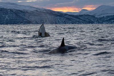 Orca-Sichtung