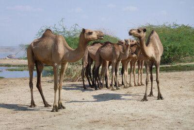 Dromedare in der Wüste