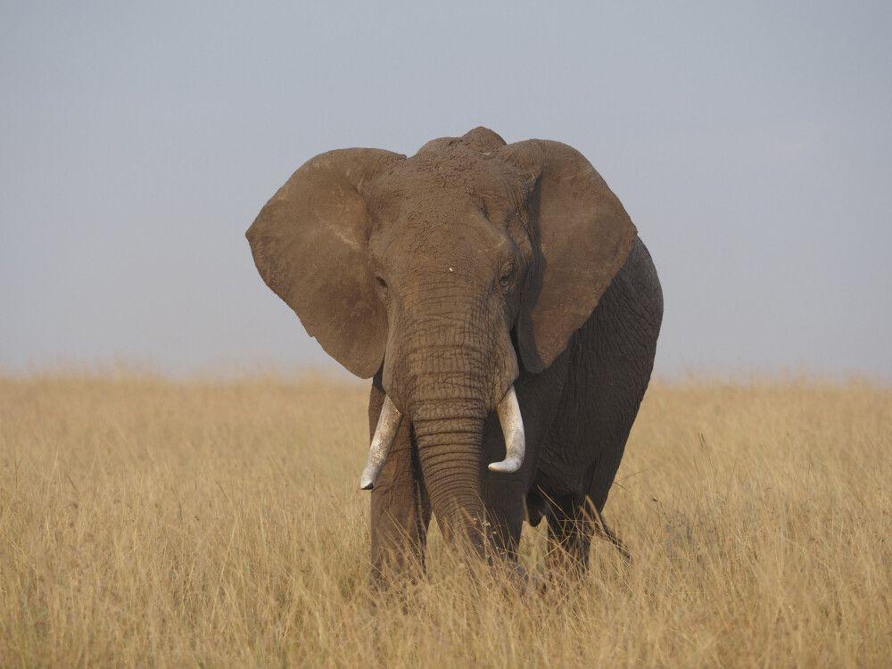 Beeindruckend: Elefant in der Masai Mara