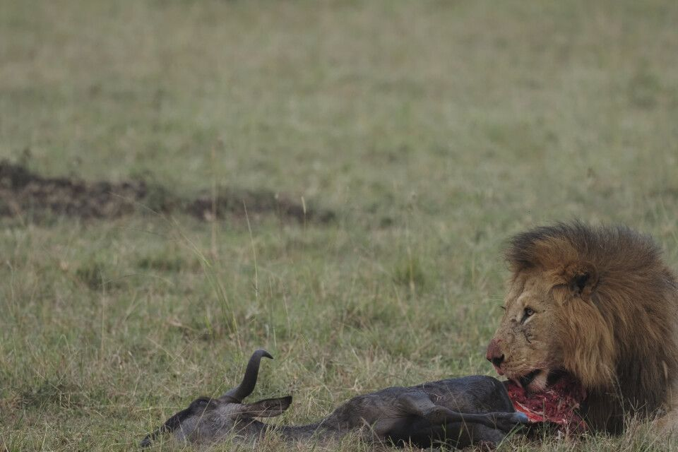 Toller (Foto-)Fang: Löwe mit Beute
