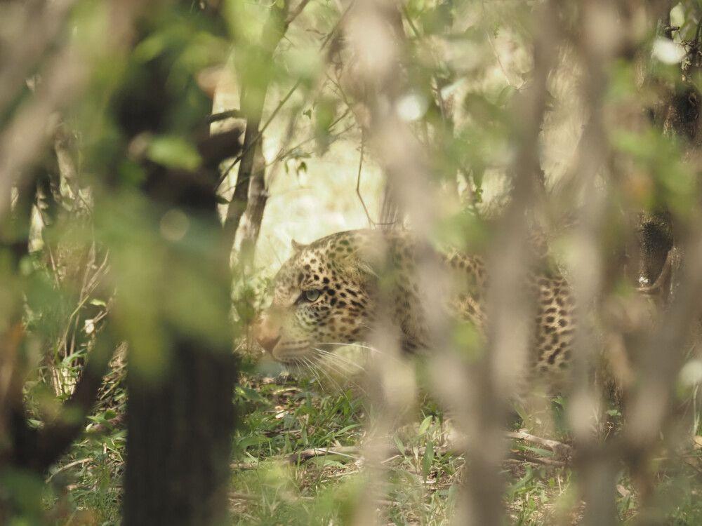 Leopard – gut versteckt eine Herausforderung für Fotografen