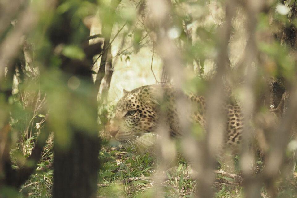 Leopard - gut versteckt eine Herausforderung für Fotografen