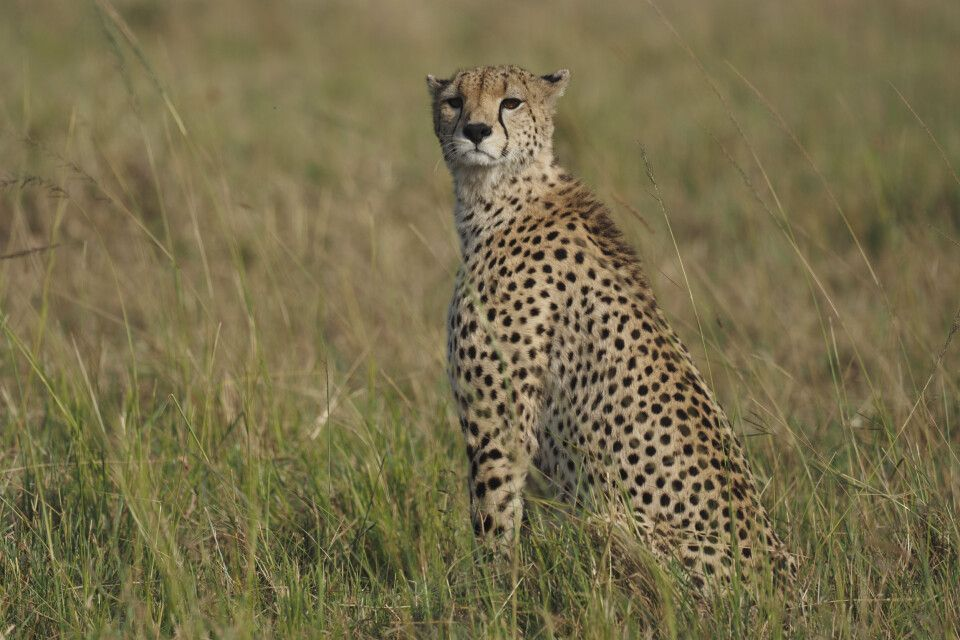 Geparden-Sichtung