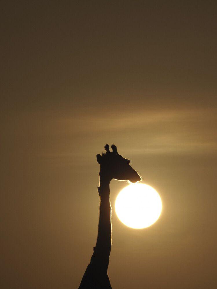 Traum von Afrika – Morgensonne und Giraffe