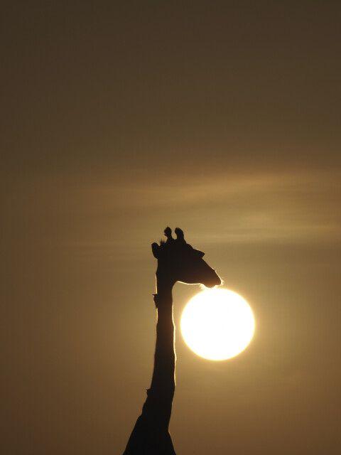 Traum von Afrika - Morgensonne und Giraffe