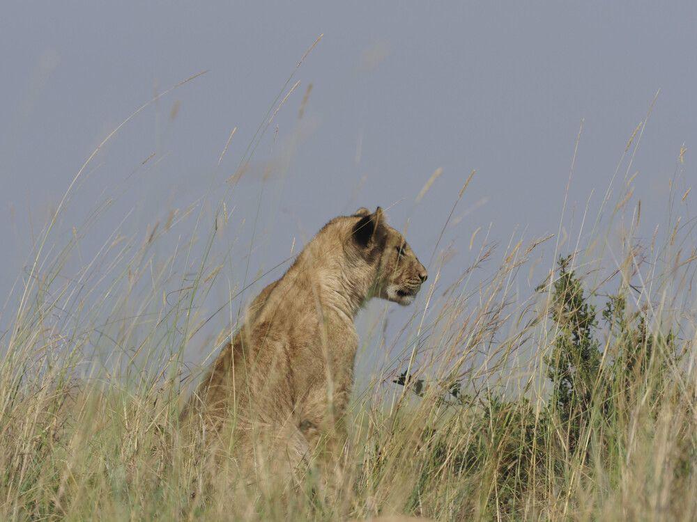 Löwen-Sichtung