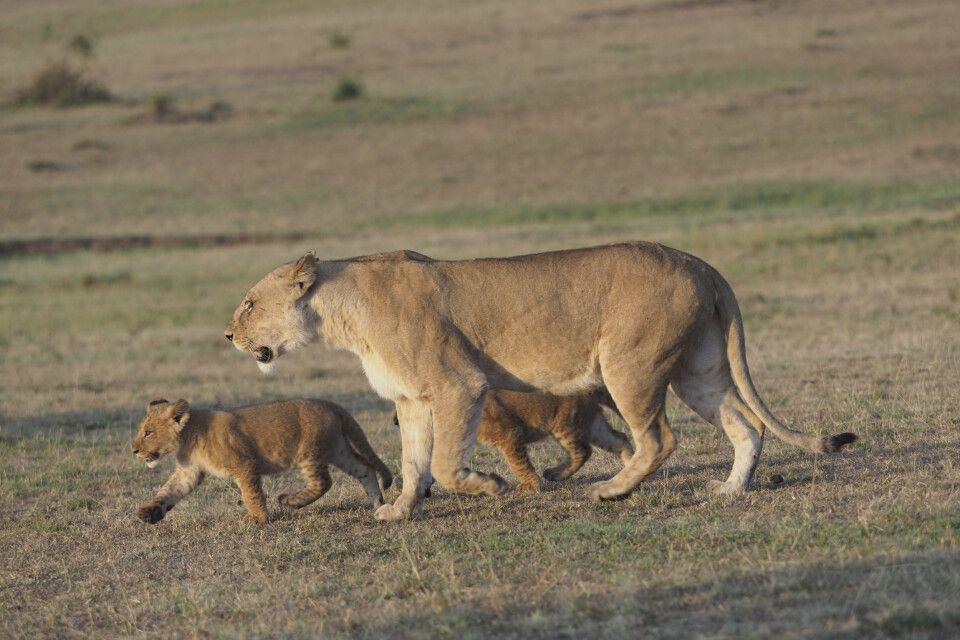 Löwenmutter mit Jungtieren