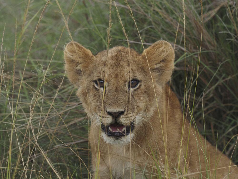 Löwen-Junges