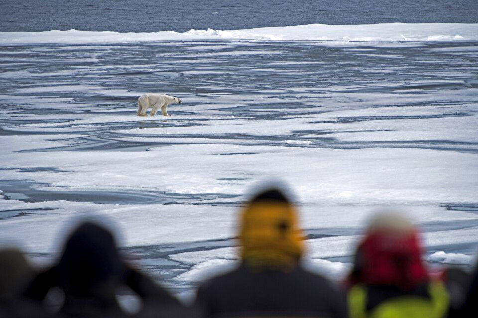 Eisbärbeobachtung im Meereis