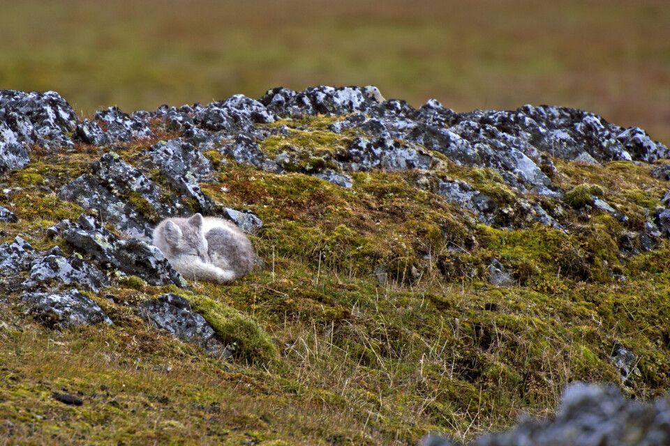 Lässt sich nicht stören – Polarfuchs