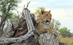 Leopard, Glück bei der Pirschfahrt im Chobe NP