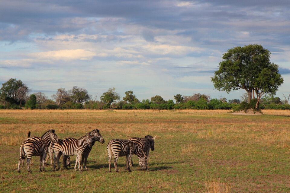 Zebras genießen den Morgen, Botswana