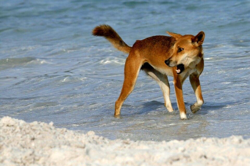 Dingo am Strand auf Fraser Island