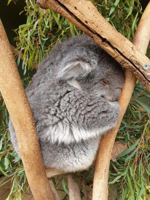 Schlafender Koala in einer Baumgabel