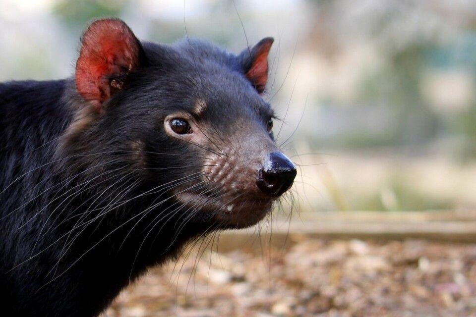 Tasmanischen Teufel