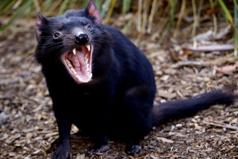 Begegnung mit dem Tasmanischen Teufel