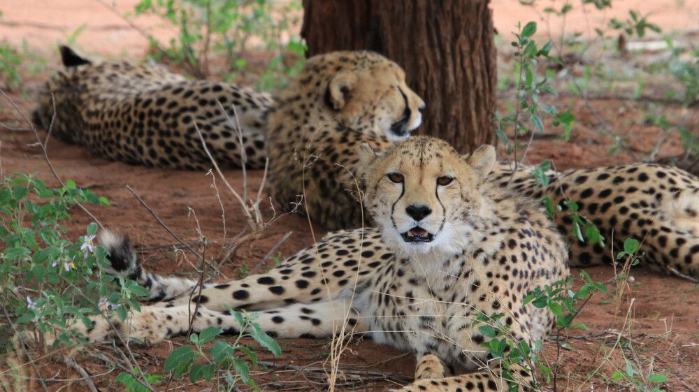 Geparden im Etosha-Nationalpark