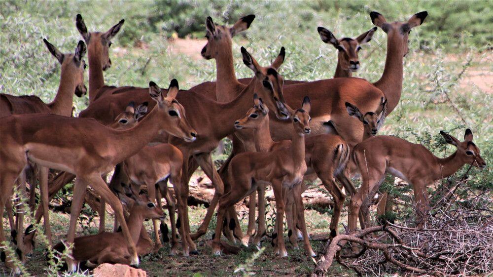 Große Herden von Springböcken – zu dieser Jahreszeit mit vielen Jungtieren