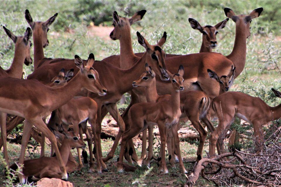 Große Herden von Springböcken - zu dieser Jahreszeit mit vielen Jungtieren