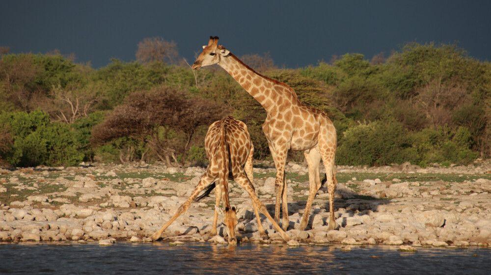 Tolles Bild, wenn Giraffen Wasser trinken.