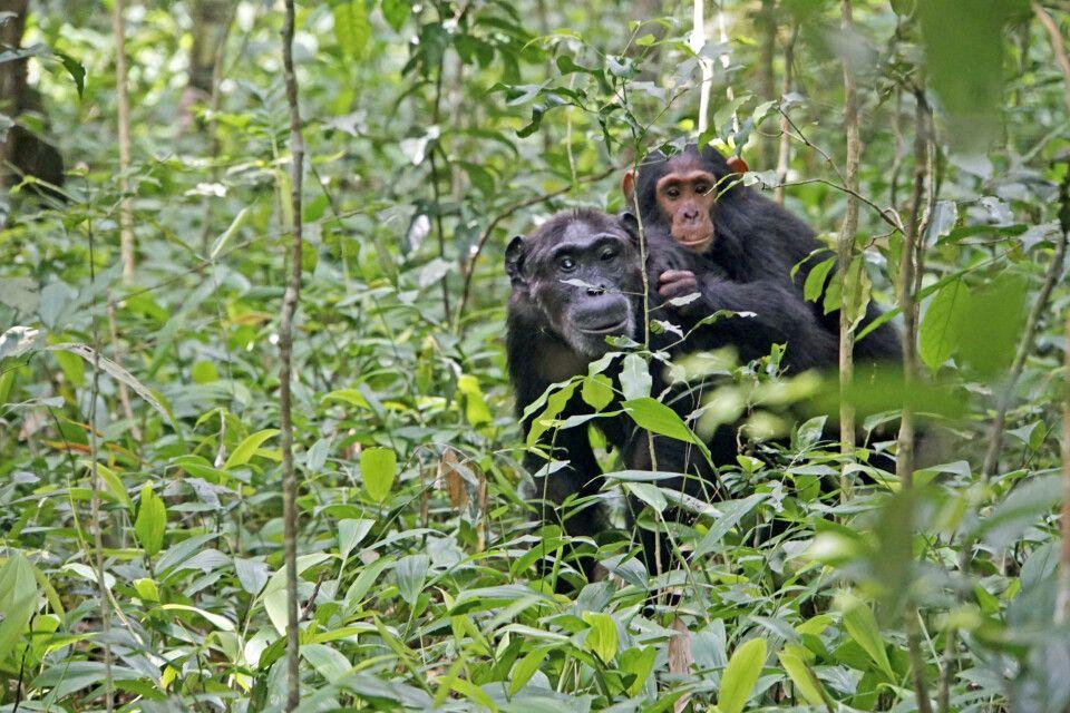 Ab und zu sieht man die Schimpansen auch mal am Boden des Waldes.