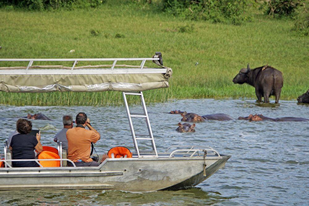 Während einer Bootsafari am Kazinga-Kanal, der zwischen Lake Edward und Lake George liegt, gelangt man sehr nah an die Tiere heran. Besonders morgens und nachmittags sammeln sie sich am Ufer.