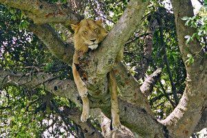 Der Ishasha Sektor im Südwesten des Queen Elizabeth Nationalparks ist berühmt für seine baumkletternden Löwen.