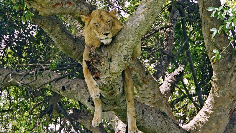 Der Ishasha Sektor im Südwesten des Queen Elizabeth Nationalparks ist berühmt für seine baumkletternden Löwen. © Diamir