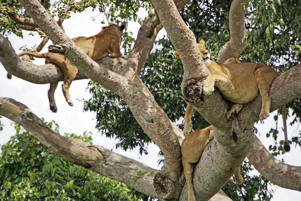 Manchmal hat man die Möglichkeit, auch mehrere Tiere in einem Baum zu sehen. Ein schönes Bild von schlafenden Löwen nach einer erfolgreichen Jagd.