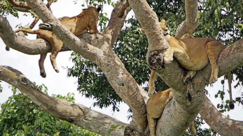 Manchmal hat man die Möglichkeit, auch mehrere Tiere in einem Baum zu sehen. Ein schönes Bild von schlafenden Löwen nach einer erfolgreichen Jagd. © Diamir