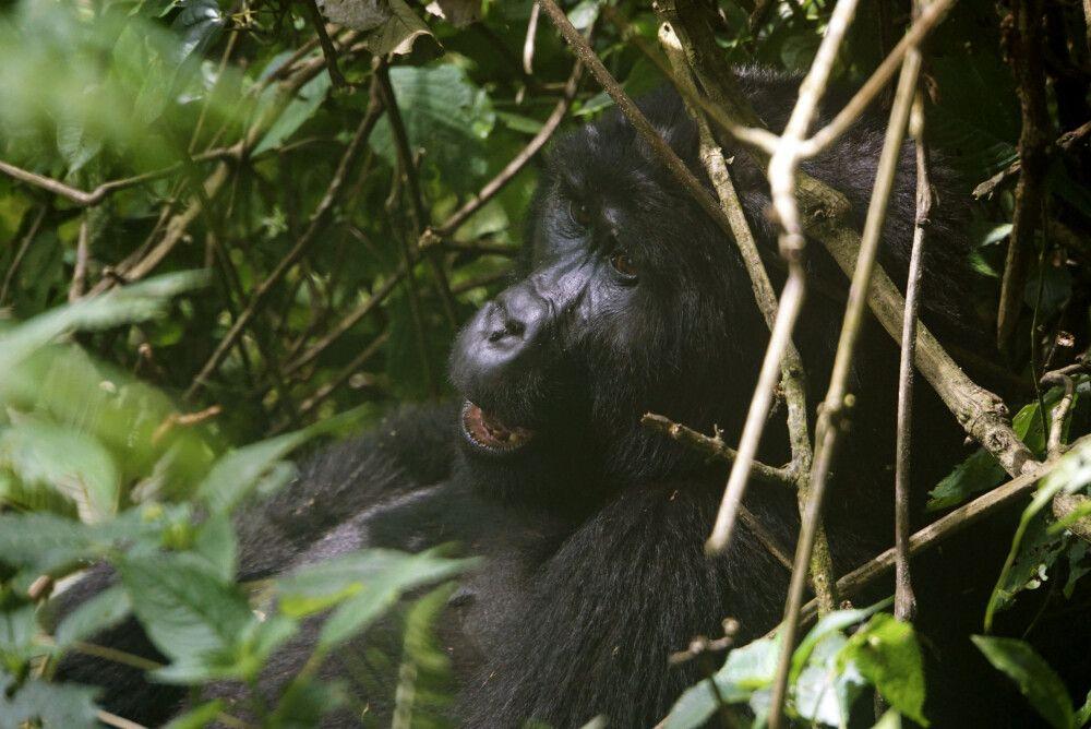 Das Highlight zum Schluss der Reise: der Besuch der Berggorillas im Bwindi Nationalpark.