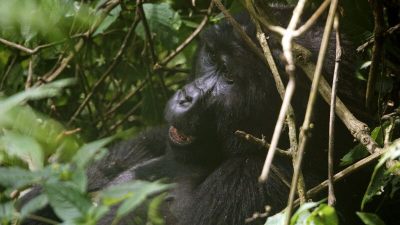 Das Highlight zum Schluss der Reise: der Besuch der Berggorillas im Bwindi Nationalpark. © Diamir