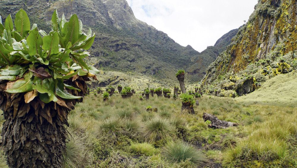 Die wunderbare Landschaft mit Riesensenezien verzaubert jeden Trekkingfan.