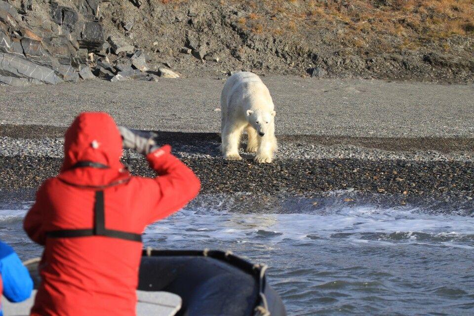 Eisbär auf Wrangel