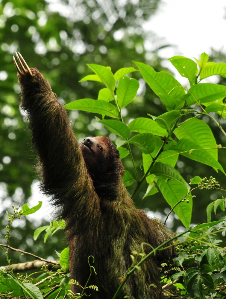Aktives Dreifingerfaultier in Costa Rica