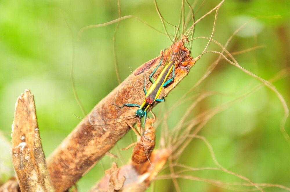Insekt und Hülle einer Zikade im Detail