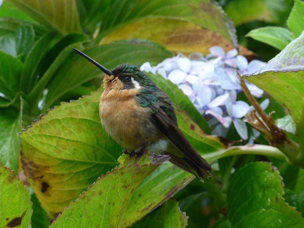 Kolibri im Nebelwald von Costa Rica