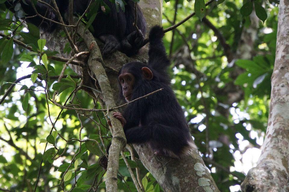 Das Schimpansen-Tracking im Kibale Nationalpark ist einer der weiteren Höhepunkte des Landes. Mit viel Glück kommt man recht nah an die Tiere heran, die meist wild in den Bäumen herumspringen – oder manchmal eben einfach auch nur gediegen futtern.