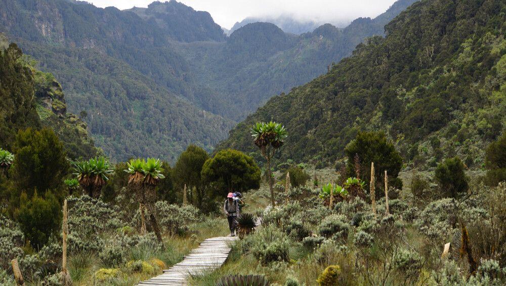 Hölzerne Stege führen durch Etappen mit Moor und Elefantengras