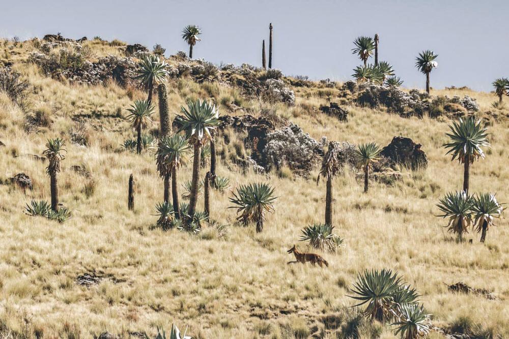 Ein Äthiopischer Wolf, gut versteckt in der Steppenlandschaft