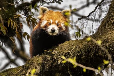 Roter Panda im Singalila-Nationalpark