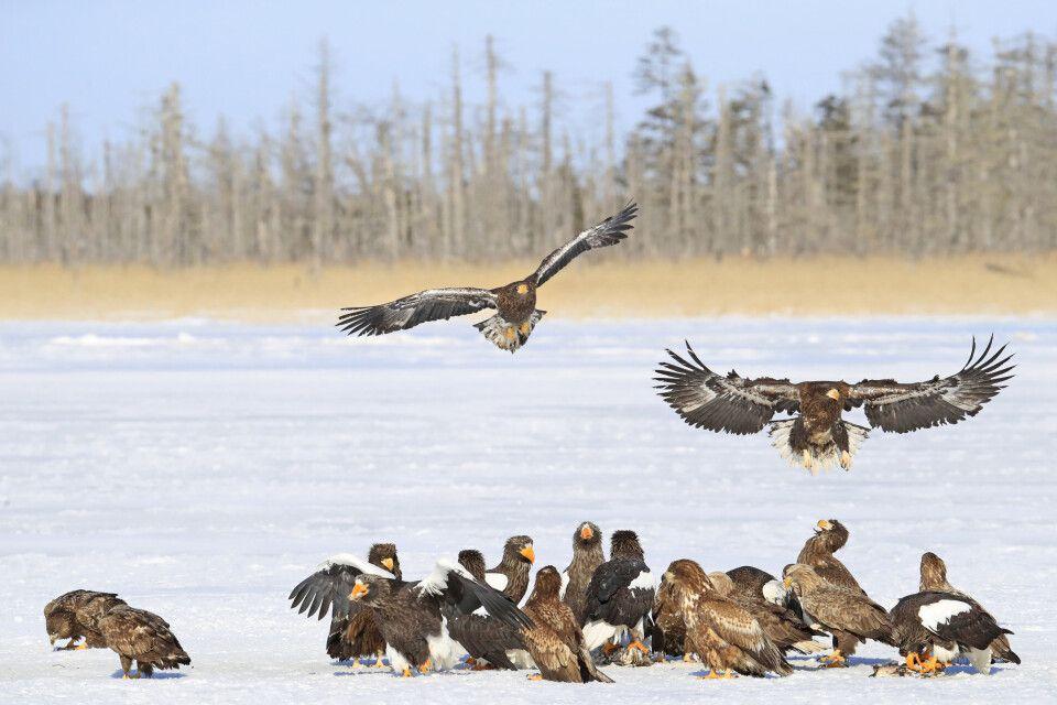 Riesenseeadler auf Hokkaido