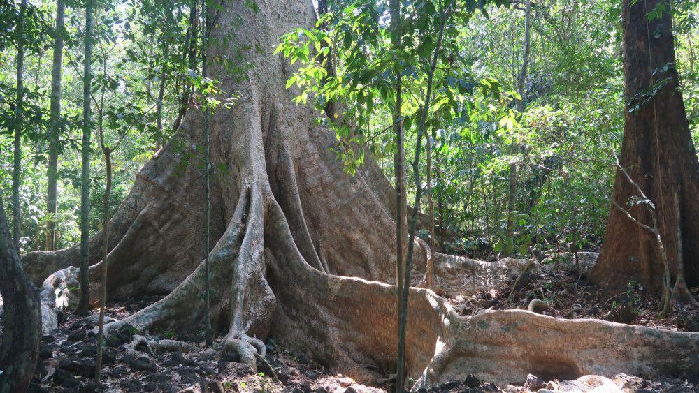 Baumriese im Nam Cat Tien Nationalpark