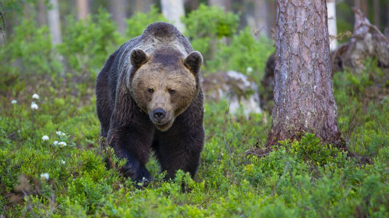 Bär © Diamir