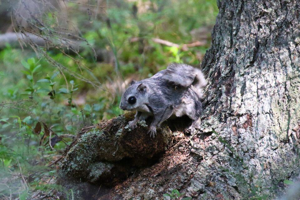 Gleithörnchen