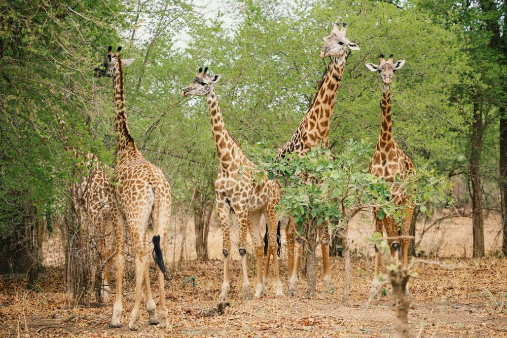 SAMDIA_201023_1TTH_2_Sambia Giraffen mit neugierigen Blicken.jpg