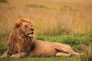 Eindrucksvolles Löwenmännchen