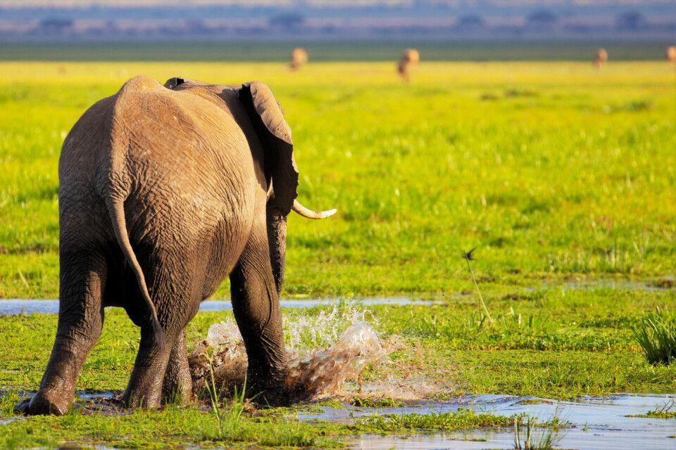 Elefant in den Sümpfen des Amboseli